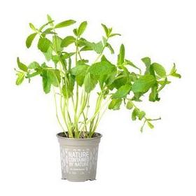 Koriander plantje