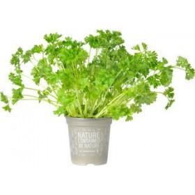 Krulpeterselie plantje