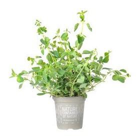 Oregano plantje