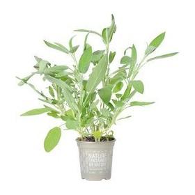 Salie plantje