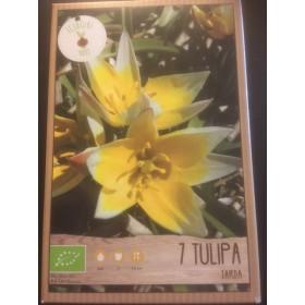 TulpenbolTarda
